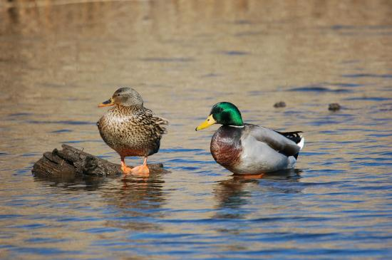 88 Motel: Mallards (female & male)