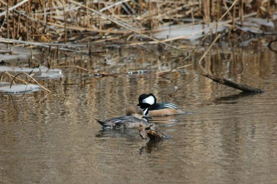 88 Motel: Hooded Merganser (male & female)