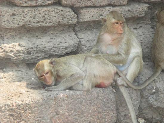 Les singes dans la rue - Bild von Phra Prang Sam Yot, Lop Buri - TripAdvisor