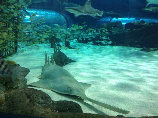 Shark Picture Of Ripley 39 S Aquarium Myrtle Beach Tripadvisor