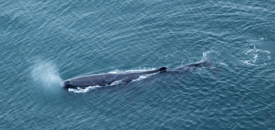 Air Kaikoura Aero Club: Sperm whale from Air Kaikoura Flight
