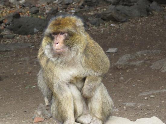 Ifrane, Maroko: Barbary Macaque