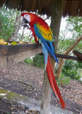 Scarlet macaw at feeding station