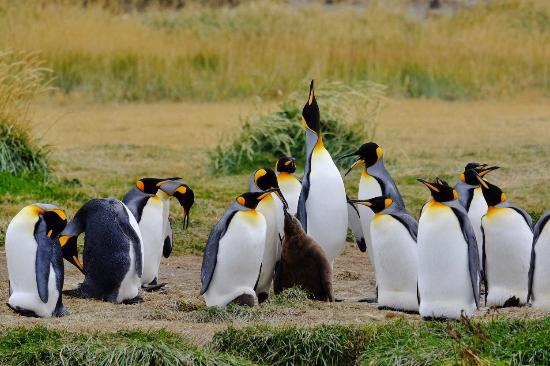 Tierra del Fuego, Chili: King penguins