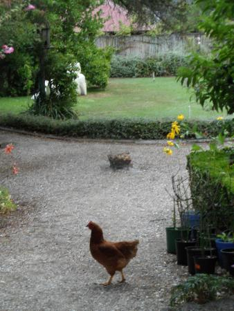 Blythcliffe: Chickens enjoying their freedom