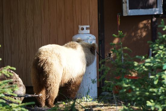Bear Camp : bear checking out the kitchen hut