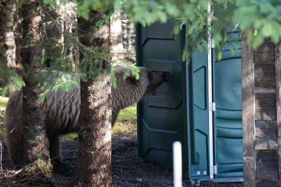 Bear Camp: having a sniff at the port-a-loo, we used ones inside electric fence