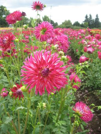 Swan Island Dahlias : Rows of our favorites abound!