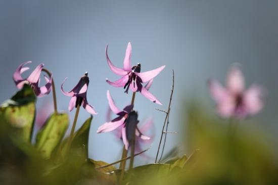 Erythronium Ground