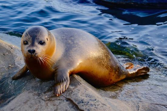 Scarborough, UK : Mermaid - one of our rescued common seals