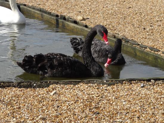Abbotsbury Swannery: swans