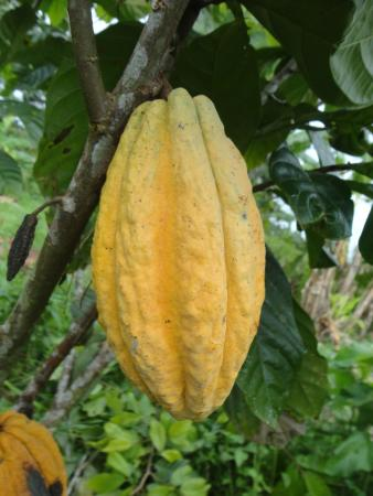 Tena, Ecuador: When you visit the Kallari cacao farms, you will have a chance to see fruits and savor the seeds