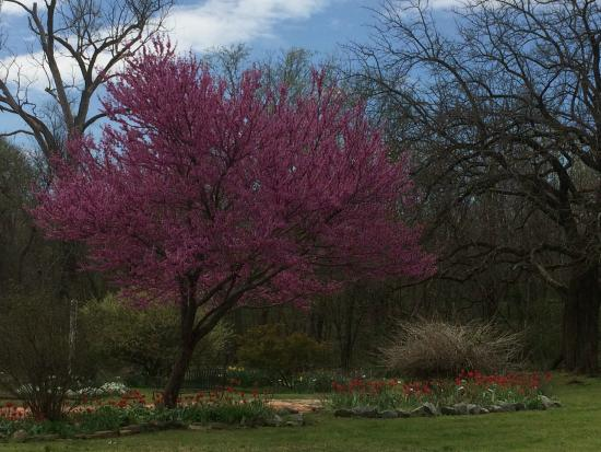Eisenhower Birthplace State Historical Park: redbud in bloom in one of the gardens