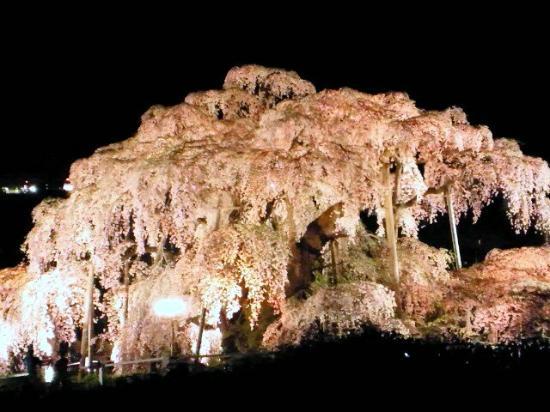 Miharutakizakura : 夜桜