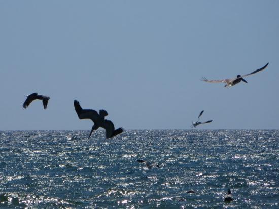 Padre Island National Seashore: Pelican feeding frenzy!