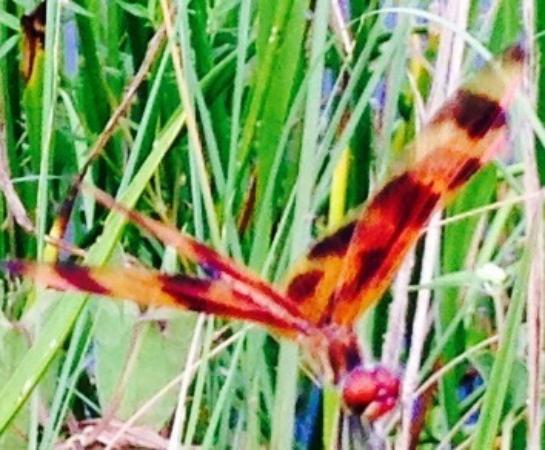 Jupiter, FL: Tiger Fly