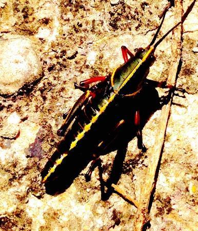 Jupiter, FL: Big Grasshopper