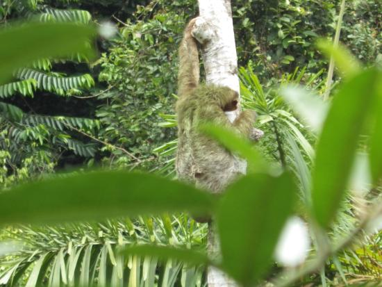 Rambala, Panama: female sloth