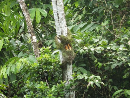 Rambala, Panama: male sloth