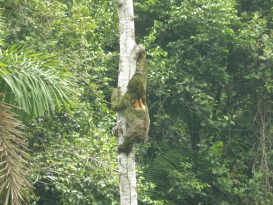 Rambala, Panamá: Sloth!