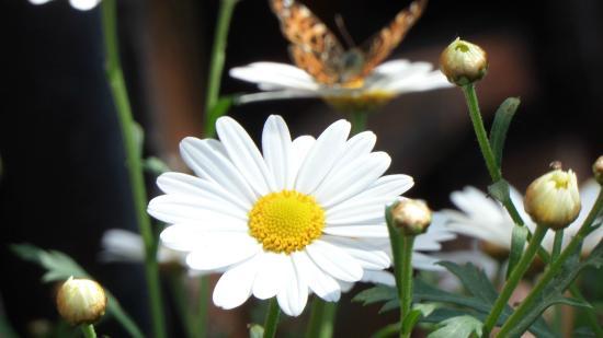 Nahrendorf, Germany: Schmetterling im Garten