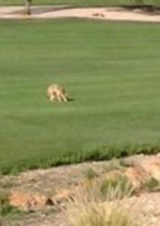 Badlands Golf Club : One of two coyotes on the fairway
