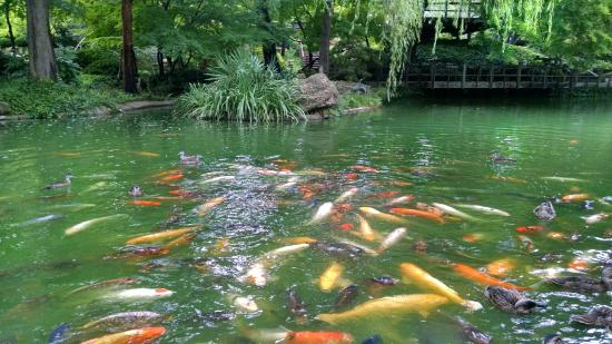 Koi Fish in the Japanese Garden - Picture of Fort Worth Botanic ...