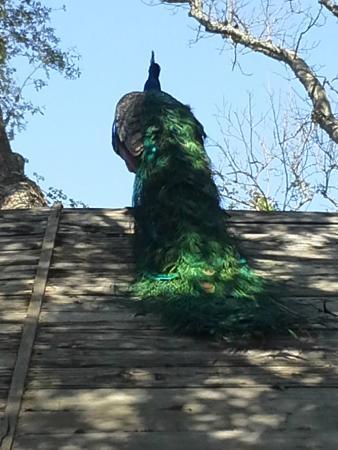 Sportsman's Lodge Motel & Marina: one of the many pretty peacocks