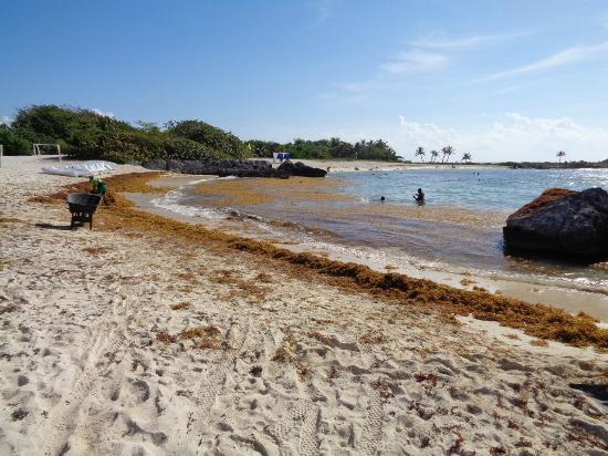 Seaweed Picture Of Grand Sirenis Riviera Maya Resort