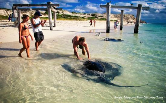 Boranup Forest Retreat : Stingrays in Hamelin Bay
