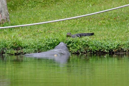 manatee - alligator staring contest - Picture of Karen\'s Kayaks ...