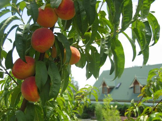 Green Gables Lodge Country House: yummy fresh peaches