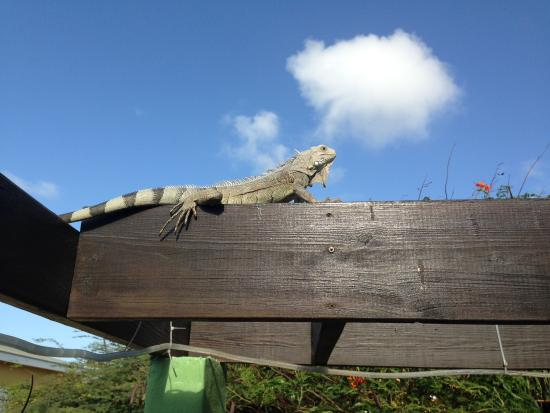 Buffam's Tropical Haven: This iguana lives up on the roof!
