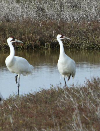 Rockport, Teksas: whooping crane pair in synchrony
