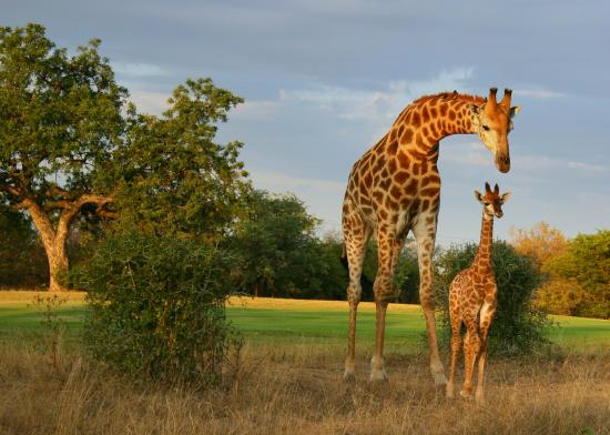 Hans Merensky Hotel & Spa: Giraffes