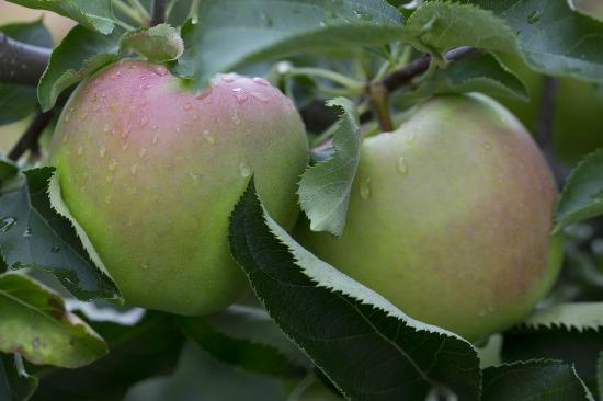 Kewadin, Μίσιγκαν: King orchards Northern Spy Apples