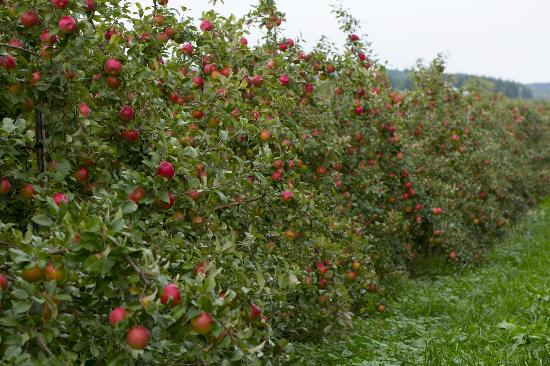 Kewadin, Мичиган: A row of heavily loaded Honey Crisp apple trees.