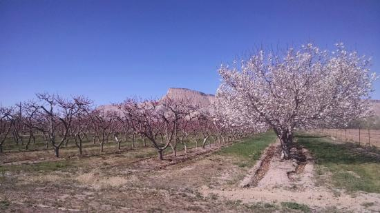 Carlson Vineyards Winery & Tasting Room: Beautiful views - Apple and Peach trees in bloom.