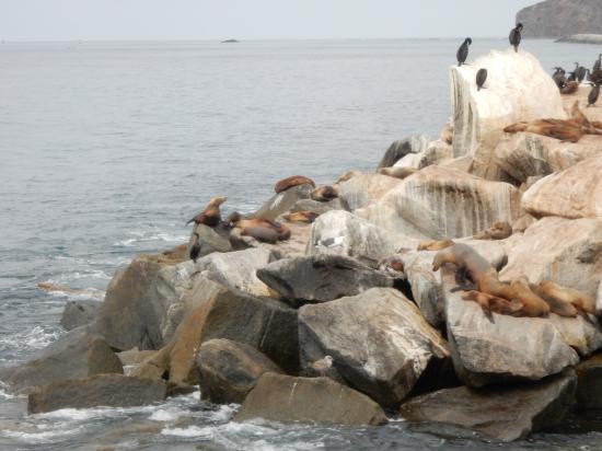 Dana Point, CA: Seals