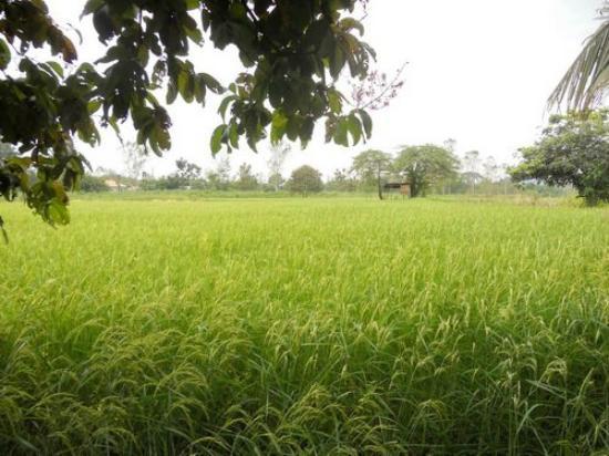 Wang Nam Yen, Thailand: Views of rice paddies surrounding the restaurant and accomadation