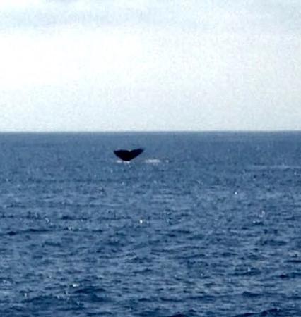 Dana Point, CA: Grey whale