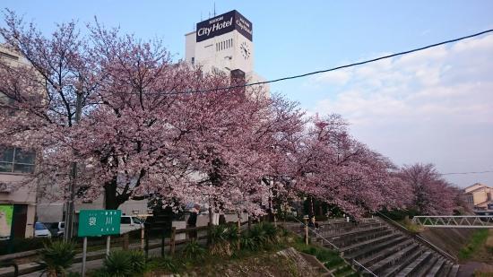 Tottori City Hotel: Caminho de cerejeiras em frente ao hotel