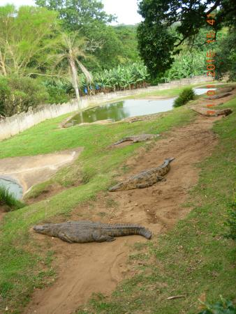 Riverbend Crocodile Farm: Crocodile females on nests
