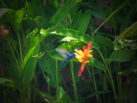 Caju-Verde: Kolibir-Besuch im Garten