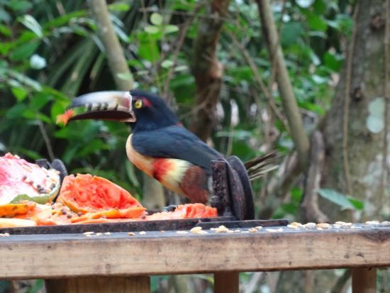 Belize Botanic Gardens: Aracari