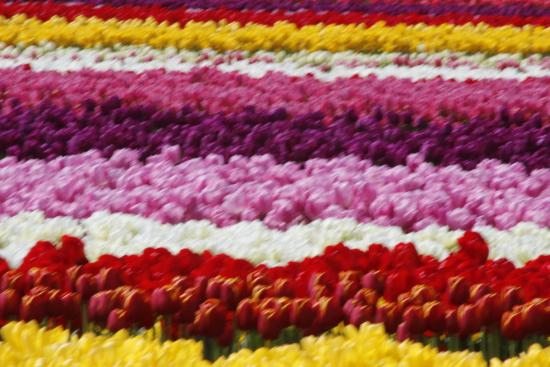 Cheryl's Northwest Tours LLC - Day Tours: Tulip Festival Mt. Vernon, WA