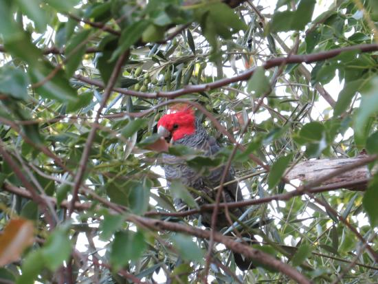 Baranduda Homestead B&B Cottages: Birdlife