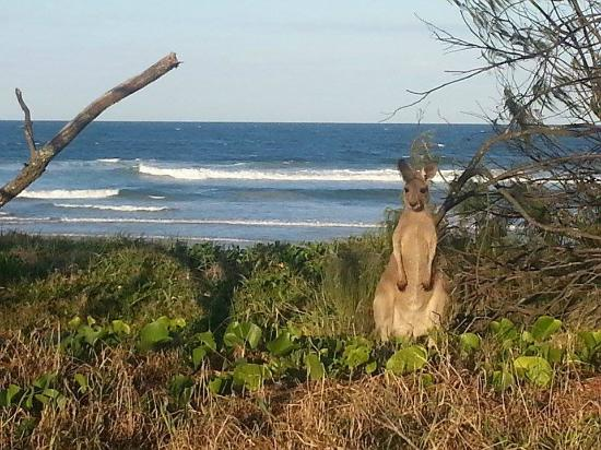 Noosa North Shore Beach Campground: Local Kangaroo next to your tent