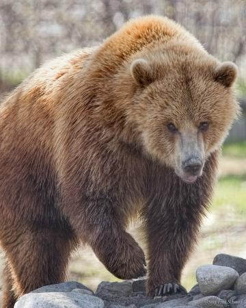 Kamloops Wildlife Park : Knute the Grizzly