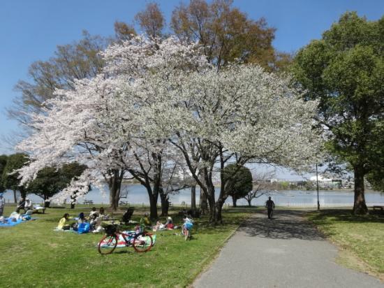 Kuki Shobu Park: さくら